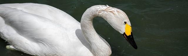 Slimbridge swan